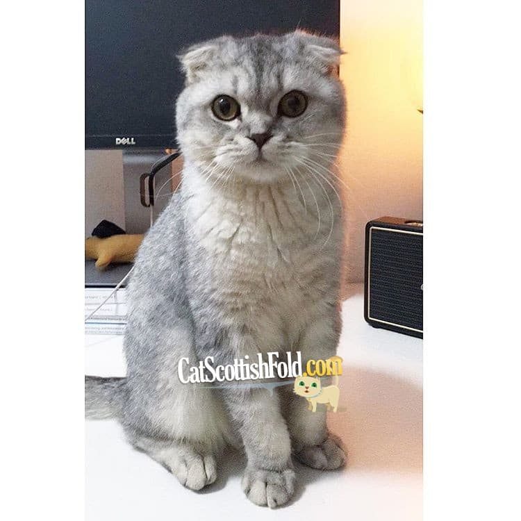 Scottish Fold Vs British Short Hair Differences And Similarities