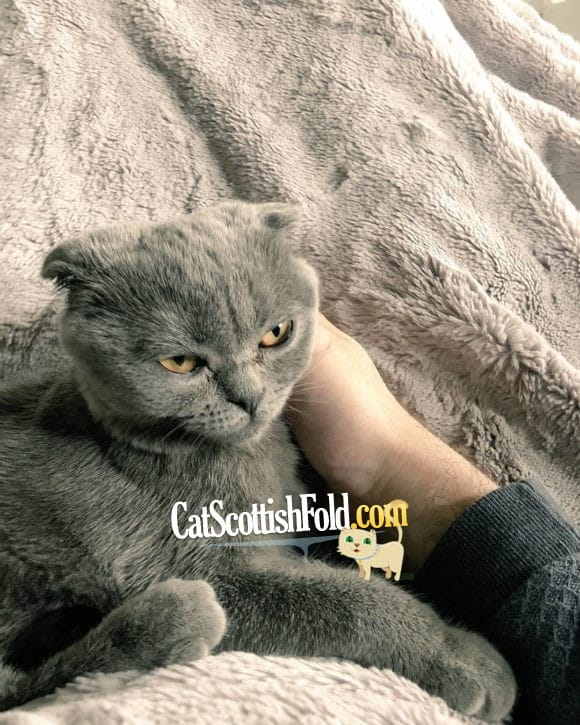 What to consider before buying a Scottish fold cat?