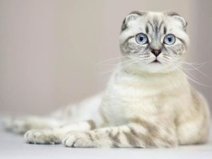 Scottish Fold Cats: Hypoallergenic or Not? - Scottish Fold Cats and