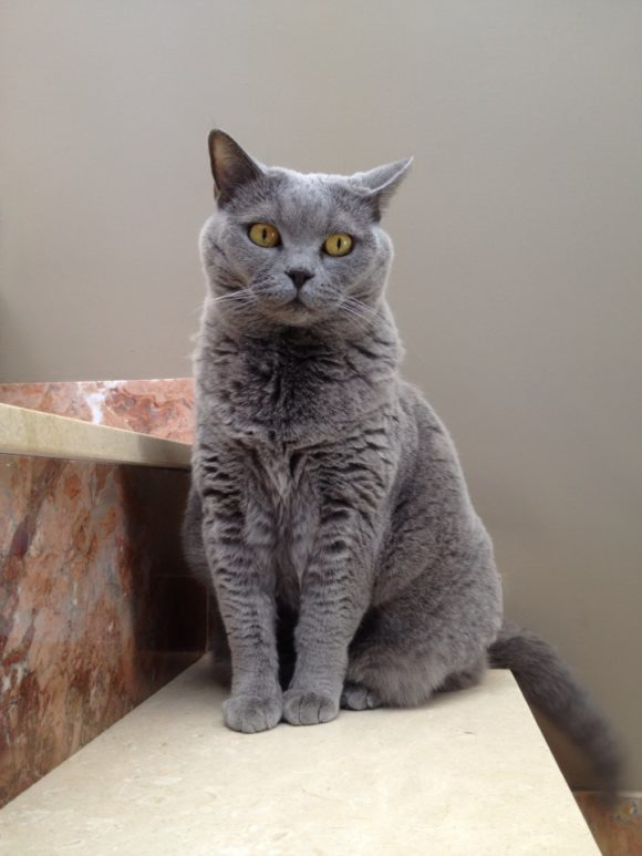 Scottish Fold Cats and Kittens – Cat Breed Information