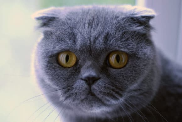 Scottish fold Genetic Testing and Tests Available
