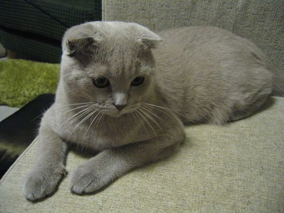 Scottish Fold Adoption: Process, Where, How