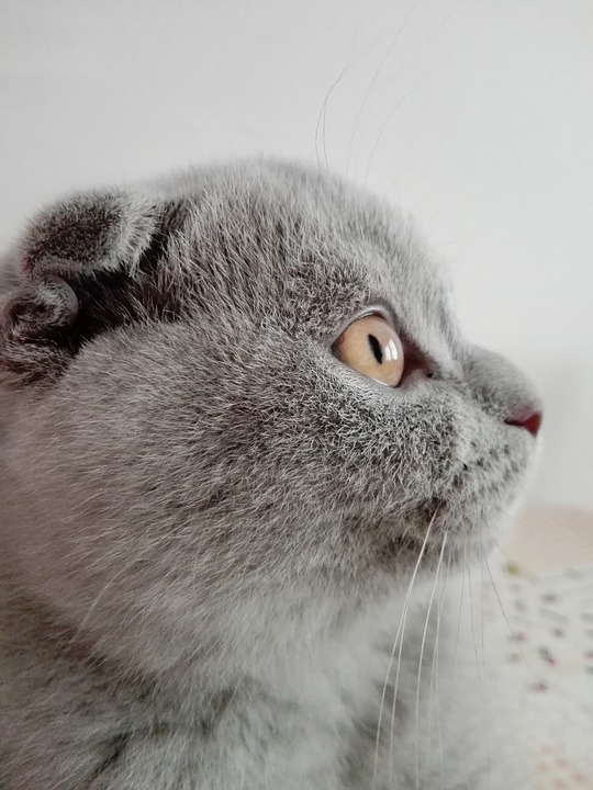 How to breed Scottish Folds Correctly – Rules and Breeds Mix