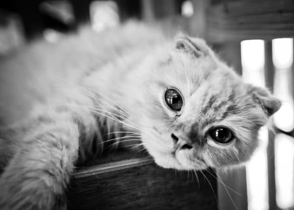 Scottish Fold Eye Problems and Care