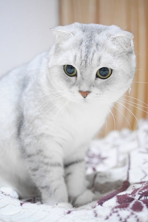 Scottish Fold Health Issues & Health Risks